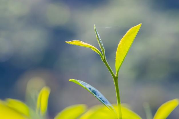 Młody liść zielonej herbaty