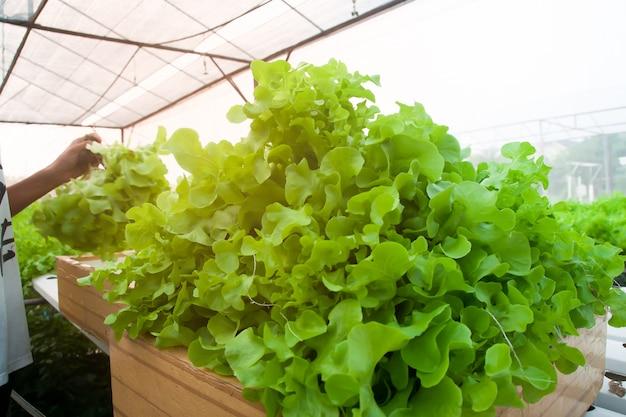 Młody mądrze rolnik zbiera sałatkowych warzywa w hydroponika gospodarstwie rolnym z miękkim światłem