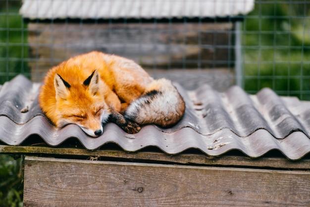 Młody mały uroczy szczeniaka lisa dosypianie na buda dachu w europejskim zoo na zamazanej naturze plenerowej. t.