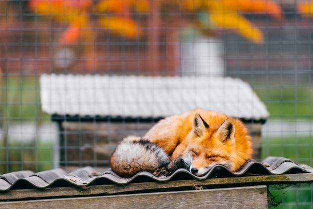 Młody mały uroczy szczeniaka lisa dosypianie na buda dachu w europejskim zoo