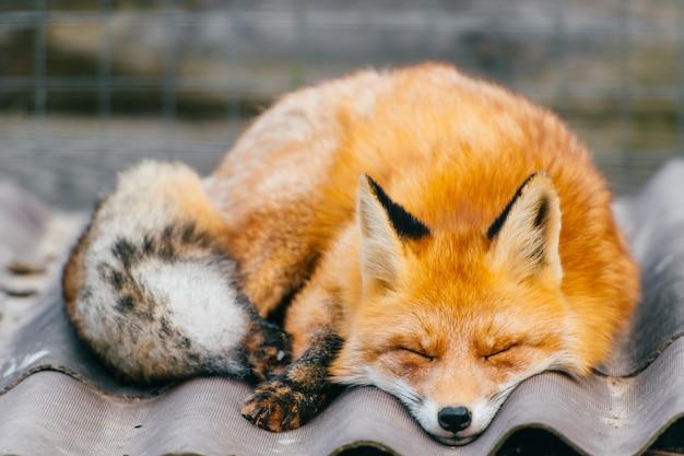 Młody mały uroczy szczeniaka lisa dosypianie na buda dachu w zoo na zamazanej naturze plenerowej. zbliżenie portret czerwony pomarańczowy drapieżnik z długim ogonem.