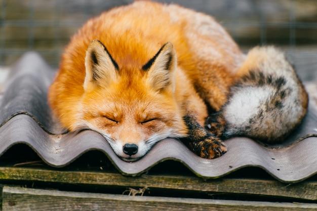 Młody mały uroczy szczeniaka lisa dosypianie na psiarnia dachu w zoo plenerowym. zbliżenie portret czerwony pomarańczowy drapieżnik z długim ogonem.