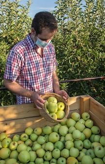 Młody mężczyzna w kraciastej koszuli zbiera jabłka na plantacji drzew owocowych z maską na koronawirusa