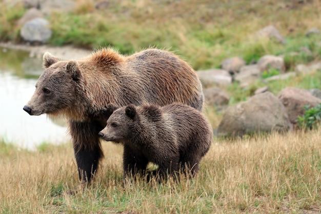Młody miś z mamą