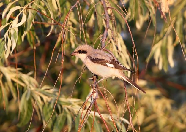 Młody, mniejszy szary dzierzba (lanius minor) siedzi na gałęzi w łagodnym porannym świetle. może być używany do prowadzenia ptaków