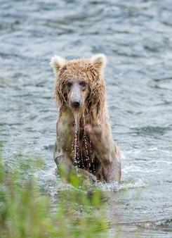 Młody niedźwiedź brunatny stoi na tylnych łapach w wodzie w rzece