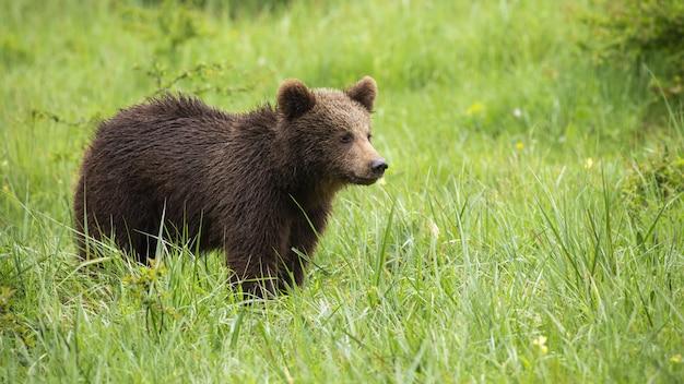 Młody niedźwiedź brunatny stojący na łące