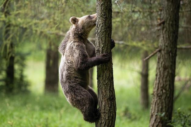 Młody niedźwiedź brunatny wspina się na drzewo w lesie latem
