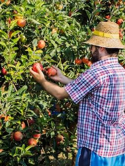 Młody ogrodnik płci męskiej podczas zbioru jabłek w ogrodzie