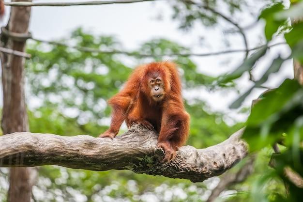 Młody orangutan na siedzącym drzewie