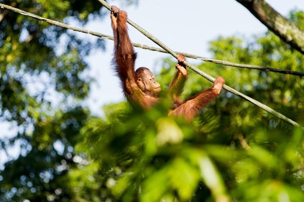 Młody orangutan wspina się po linach między drzewami. singapur.