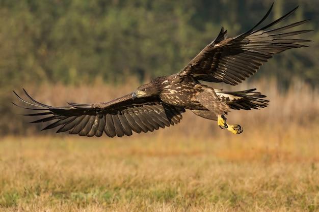 Młody orzeł bielik latający nisko nad łąką w jesiennej przyrodzie