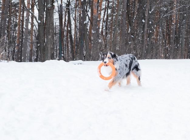 Młody owczarek australijski merle o niebieskich oczach biegający i bawiący się ciągnikiem w zimowym lesie. pies w śniegu.
