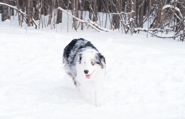 Młody owczarek australijski merle o niebieskich oczach biegający w zimowym lesie. pies w śniegu.