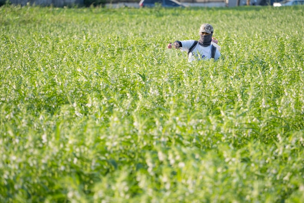 Młody pan rolnik rozpyla pestycydy (chemikalia rolnicze) na swoim własnym polu sezamowym, aby rano zapobiec szkodnikom i chorobom roślin, widok z lotu ptaka, xigang, tainan, tajwan