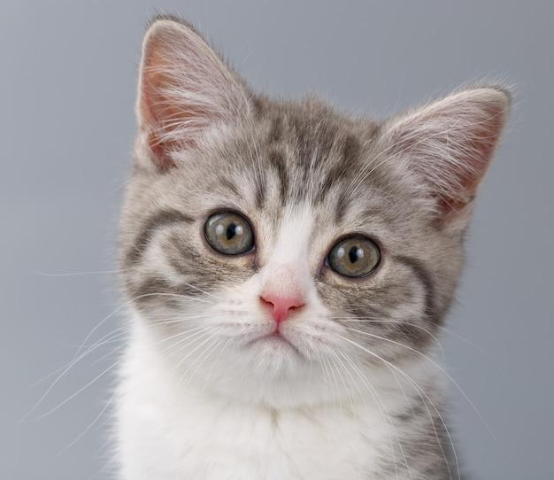 Młody pasiasty kot szkocki na szarym tle