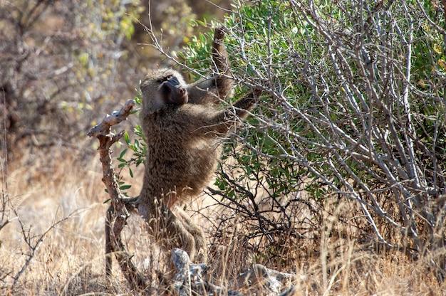 Młody pawian oliwny w parku narodowym kenii, afryka. zwierzę w siedlisku. scena dzikiej przyrody z natury