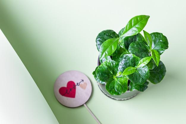 Młody pęd kawowca z miłością cylinder. koncepcja kawiarni. koncepcja miłości lub walentynki.