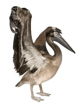 Młody pelikan odizolowywający na bielu