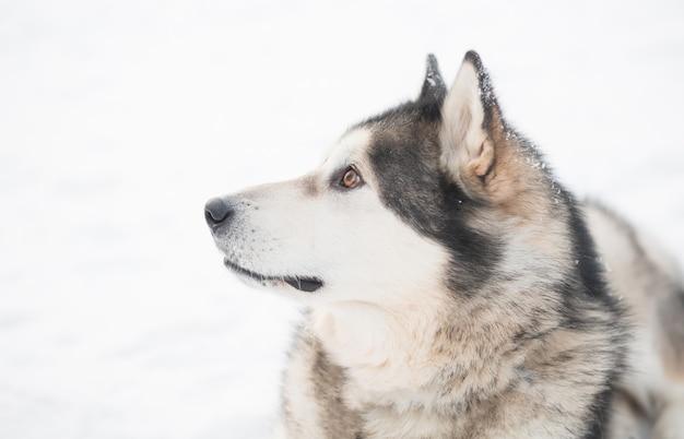 Młody piękny pies alaskan malamute z brązowymi oczami w śniegu