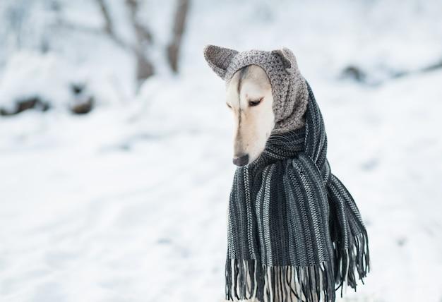 Młody piękny pies saluki w szary dzianinowy kapelusz i szalik w wintet bliska portret. pies.