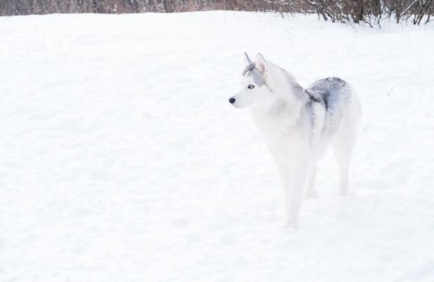 Młody piękny siberian husky o niebieskich oczach stojący w zimie. bliska portret. widok z boku. pies i śnieg.