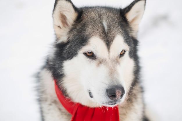 Młody pies alaskan malamute z brązowymi oczami w czerwonym szaliku w zimowym lesie.