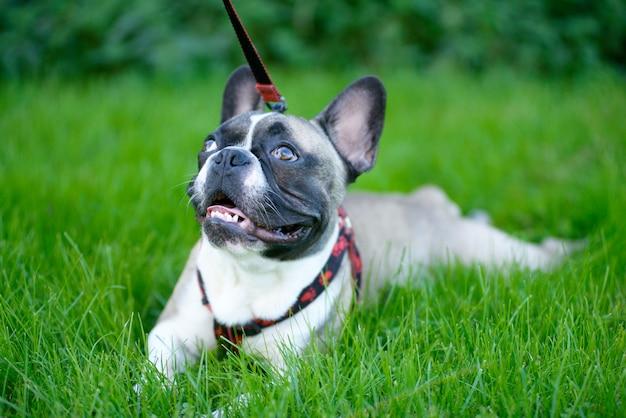 Młody pies, buldog francuski, siedzący na trawie