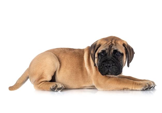 Młody pies bullmastiff