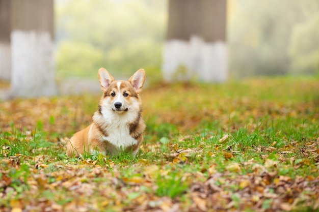 Młody pies corgi spaceruje ze swoim właścicielem po jesiennym parku