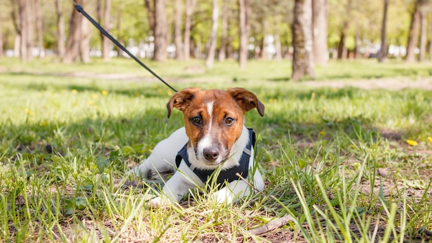 Młody pies jack russell terrier na zewnątrz w słoneczny letni dzień.