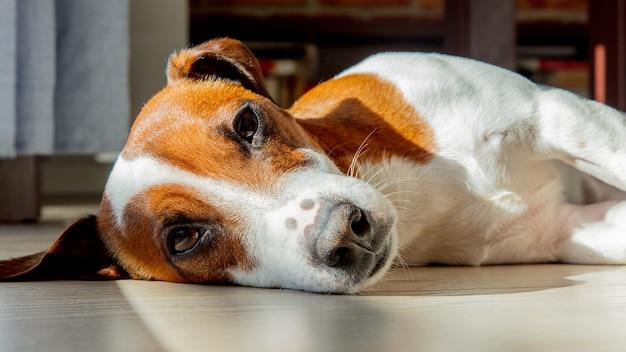 Młody pies jack russell terrier śpi na podłodze w pokoju w pobliżu okna.