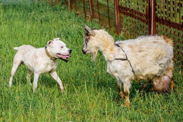 Młody pies pitbull chroni kozę. zwierzęta są przyjaciółmi. silna przyjaźń_