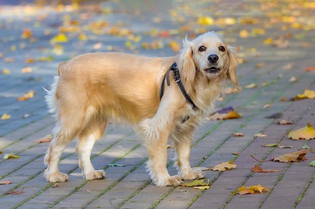 Młody pies rasowy w parku miejskim wśród suchych liści podczas spaceru jesienią