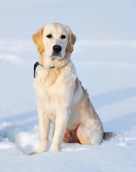 Młody pies rasy golden retriever na śnieżnym tle