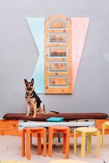Młody pies rasy owczarek niemiecki siedzi na kanapie z dużą ilością kolorów