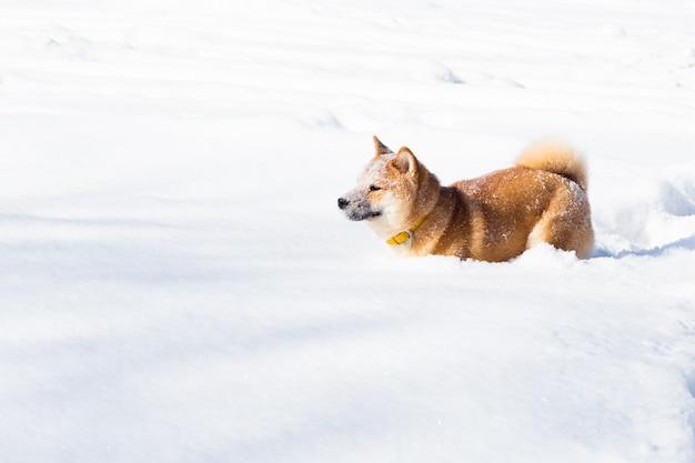 Młody pies shiba inu w zimowym lesie śnieg gry