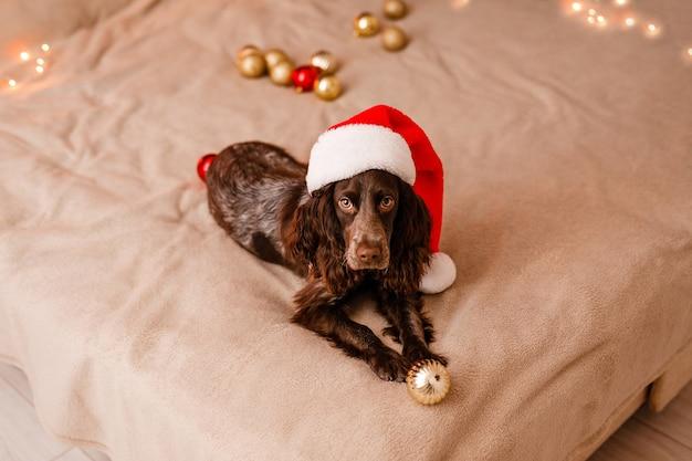 Młody pies spaniel rosyjski w czapce świętego mikołaja leży na łóżku i bawi się ozdobnymi czerwono-złotymi bombkami.