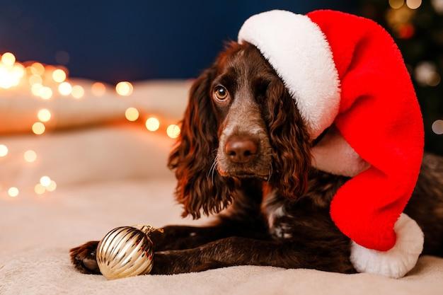 Młody pies spaniel rosyjski w czapce świętego mikołaja leży na łóżku z zabawką w zębach i bawi się ozdobnymi czerwono-złotymi kulkami.