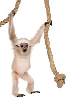Młody pileated gibbon, hylobates pileatus, kołysząc się z liny