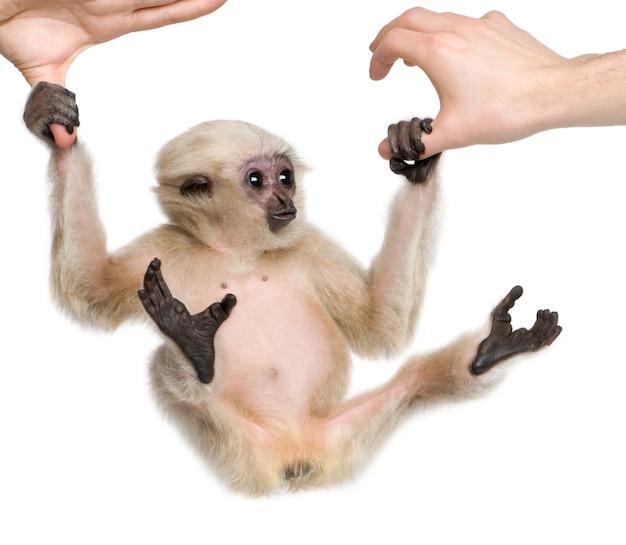 Młody pileated gibbon, hylobates pileatus, kołysząc się z rąk