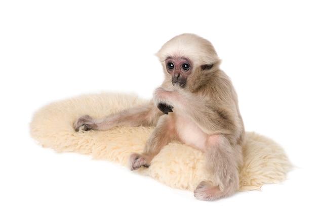 Młody pileated gibbon, hylobates pileatus, na dywanie