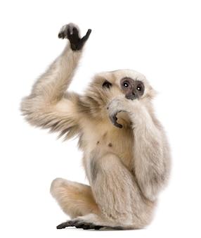 Młody pileated gibbon, hylobates pileatus, siedzi
