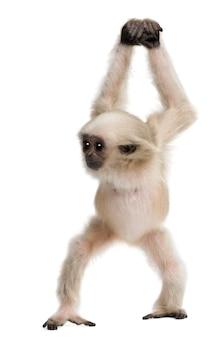 Młody pileated gibbon, hylobates pileatus, spacery