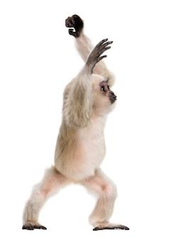 Młody pileated gibbon, stojący