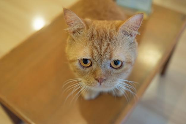 Młody pomarańczowy figlarka kot na stole w kawiarni