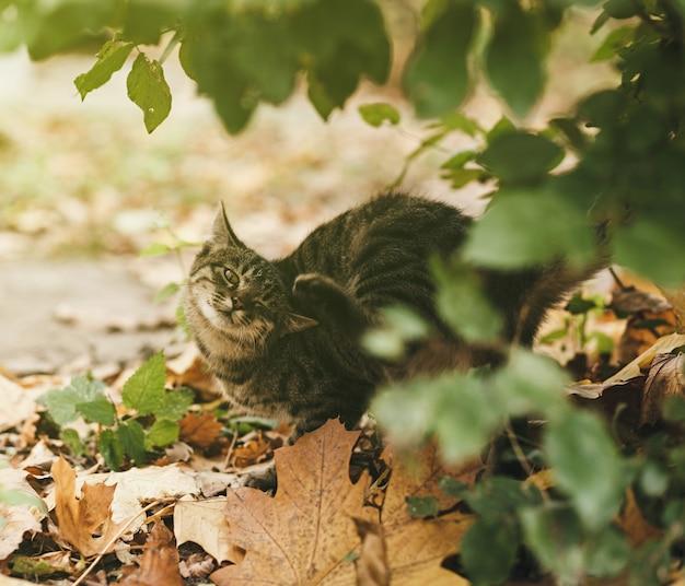Młody pręgowany kot na zewnątrz drapie się w ucho