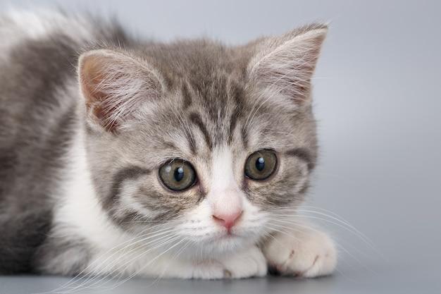 Młody pręgowany kot szkocki na szarej powierzchni