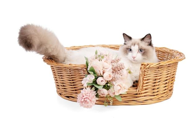 Młody ragdoll kot w wieku sześciu miesięcy na białej ścianie