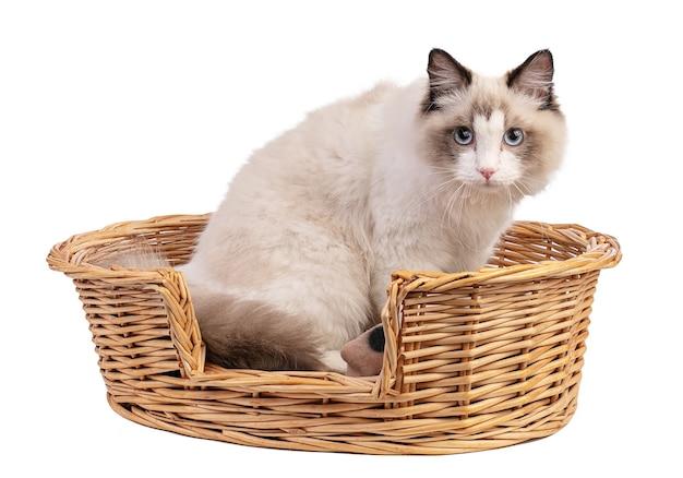 Młody ragdoll kot w wieku sześciu miesięcy w koszu na białej ścianie